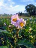 Flores salvajes de Kansas fotografía de archivo libre de regalías
