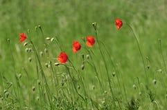 Flores salvajes de la amapola Imagen de archivo libre de regalías