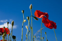Flores salvajes de la amapola Fotografía de archivo libre de regalías