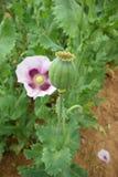 Flores salvajes de la amapola Imagenes de archivo