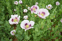 Flores salvajes de la amapola Imagen de archivo
