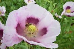 Flores salvajes de la amapola Fotos de archivo