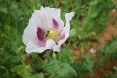 Flores salvajes de la amapola Fotos de archivo libres de regalías