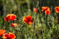 Flores salvajes de la amapola Imágenes de archivo libres de regalías
