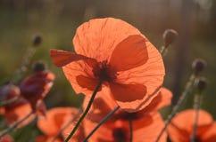 Flores salvajes de la amapola Foto de archivo libre de regalías