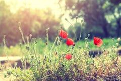 Flores salvajes de la amapola en el parque foto de archivo