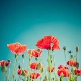 Flores salvajes de la amapola en prado del verano Fondo floral fotos de archivo