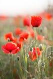 Flores salvajes de la amapola roja Fotos de archivo