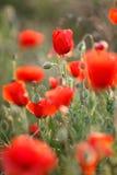 Flores salvajes de la amapola roja Foto de archivo