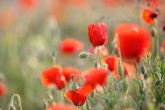 Flores salvajes de la amapola roja Imagen de archivo libre de regalías