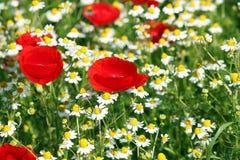 Flores salvajes de la amapola y de la manzanilla Fotos de archivo libres de regalías