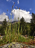 Flores salvajes de la montaña Foto de archivo libre de regalías