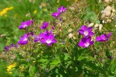 Flores salvajes de la montaña Fotografía de archivo libre de regalías