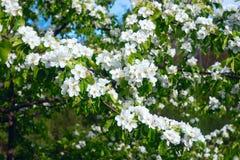 Flores salvajes de la pera en la primavera Imagenes de archivo