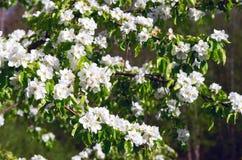 Flores salvajes de la pera en la primavera Fotos de archivo libres de regalías