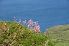 Flores salvajes de la saxífraga en la costa costa foto de archivo libre de regalías
