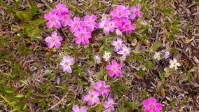 Flores salvajes de la tundra de Alaska fotografía de archivo libre de regalías