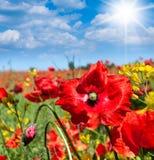 Flores salvajes de las amapolas Imagenes de archivo