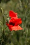 Flores salvajes de las amapolas Fotos de archivo libres de regalías
