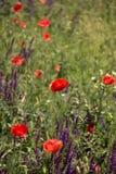 Flores salvajes de las amapolas Imagen de archivo libre de regalías