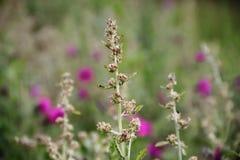 Flores salvajes de las hierbas con el fondo defocused Fotografía de archivo libre de regalías