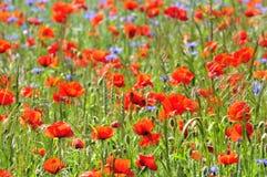 Flores salvajes de Poppys y del maíz en verano Imagen de archivo libre de regalías
