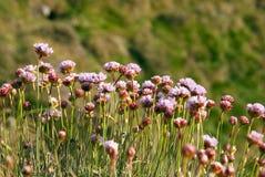 Flores salvajes del Armeria Maritima, del color de rosa de mar o del ahorro Foto de archivo libre de regalías