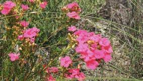 Flores salvajes del australiano occidental rosado vivo almacen de video
