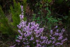 Flores salvajes del brezo Pequeñas flores violetas Imagen de archivo