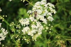 Flores salvajes del campo y una abeja en el top de él, estación de verano en el campo ruso Imágenes de archivo libres de regalías