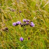 Flores salvajes del cardo en prado Fotografía de archivo