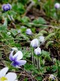 Flores salvajes del Himalaya Foto de archivo