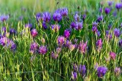 Flores salvajes del prado rosado en el primer de la hierba verde Fotografía de archivo