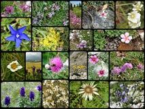 Flores salvajes del ` s de la dolomía fotografía de archivo