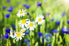 Flores salvajes del verano del fondo de la manzanilla Prado verde del resorte Margaritas en prado fresco Medicina alternativa Imagen de archivo