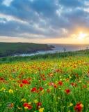 Flores salvajes en la broma Cornualles de Porth Imagen de archivo libre de regalías