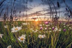 Flores salvajes en la hierba en la puesta del sol, distorsión del fisheye imágenes de archivo libres de regalías