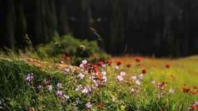 Flores salvajes en las montañas en la luz contraria almacen de video