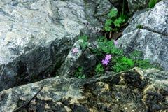 Flores salvajes en piedras Fotos de archivo libres de regalías