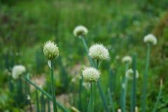 Flores salvajes florecientes del blanco, foco delantero selectivo de la flor, con Fotografía de archivo