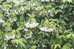 Flores salvajes frescas y hermosas del ciruelo del agua Fotos de archivo libres de regalías