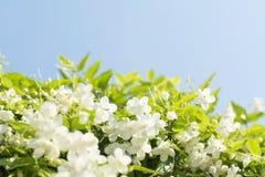 Flores salvajes hermosas del ciruelo del agua con Imágenes de archivo libres de regalías