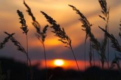 Flores salvajes - hierba perenne contra una puesta del sol roja Foto de archivo libre de regalías