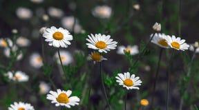 Flores salvajes, margarita imagen de archivo libre de regalías