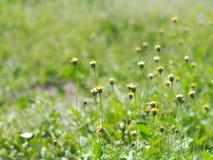 Flores salvajes minúsculas amarillas blancas de la hierba de la margarita Imágenes de archivo libres de regalías