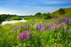Flores salvajes púrpuras hermosas en campo rural verde Fotos de archivo libres de regalías