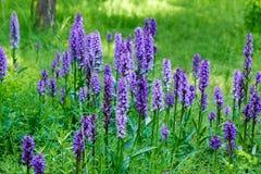 flores salvajes púrpuras para las abejas Fotos de archivo