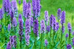 flores salvajes púrpuras para las abejas Imagen de archivo