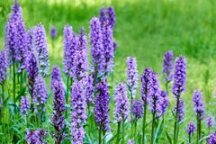 flores salvajes púrpuras para las abejas Fotos de archivo libres de regalías
