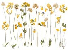 Flores salvajes presionadas Fotografía de archivo libre de regalías